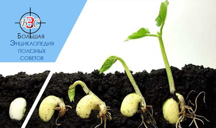 аквилегия когда сеять семена на рассаду