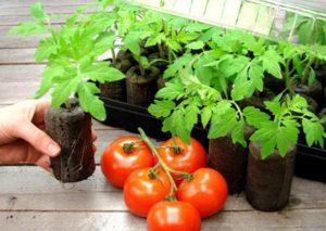 Условия выращивания томатов