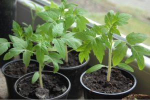 Сроки высадки рассады томатов